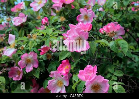 Rosa 'Load' Rosier arbustif AGA Banque D'Images