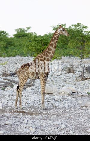 Communauté Girafe (Giraffa camelopardalis angolensis) dans le parc d'Etosha, Namibie NP.