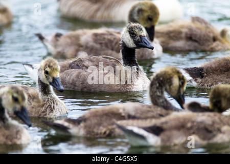 Gray Goose anser Ariser Lag (Anatidae) jeunes oies