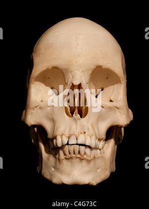 Crâne Banque D'Images