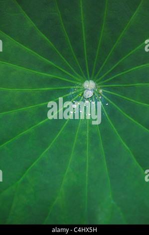 Nelumbo nucifera leaf . Gouttes d'eau sur une feuille de lotus Banque D'Images