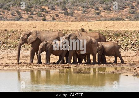 Un troupeau d'éléphants dans le Parc Safari de Addo, Afrique du Sud Banque D'Images