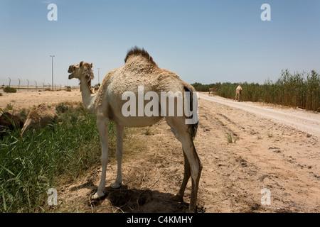 Chameau d'Arabie, le dromadaire Camelus dromedarius, près de Dammam Province orientale de l'Arabie Saoudite Banque D'Images