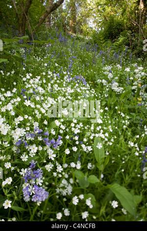 Fleurs sauvages dans les bois. Michael Pologne est 1200 hectares. Banque D'Images
