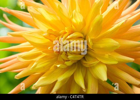 Dahlia 'Grille' Alfred Banque D'Images
