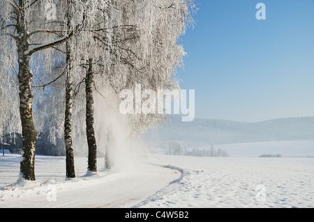 Les bouleaux, forêt noire, forêt-Noire-baar, Baden-Wurttemberg, Allemagne