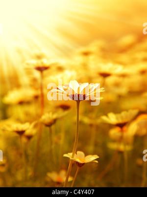 Champ de fleurs Daisy frais contexte au printemps, coucher de soleil jour macro une scène Banque D'Images