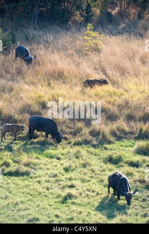 D'AFRIQUE, Syncerus caffer, vu au Zimbabwe's Chizarira National Park Banque D'Images