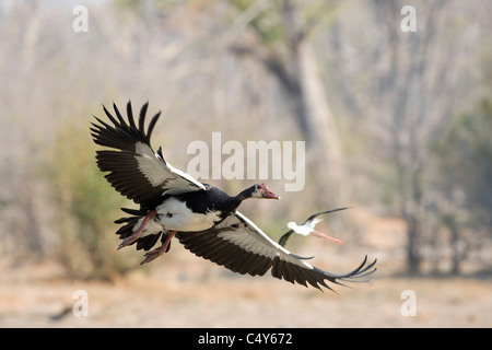 Spurwing goose in Zimbabwe's Mana Pools National Park Banque D'Images