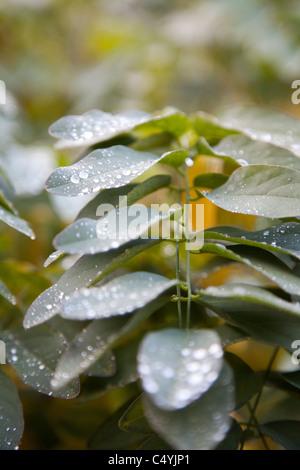 Gouttes d'hiver sur les feuilles vert Banque D'Images