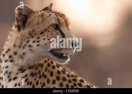 Le Guépard (Acinonyx jubatus ) Portrait à Orpen, Kruger National Park, Afrique du Sud Banque D'Images