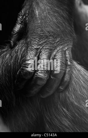 Close-up de la main de gorille Banque D'Images