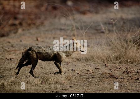 [Jackal] [Canis aureus] à la Réserve de tigres de Ranthambhore, Inde