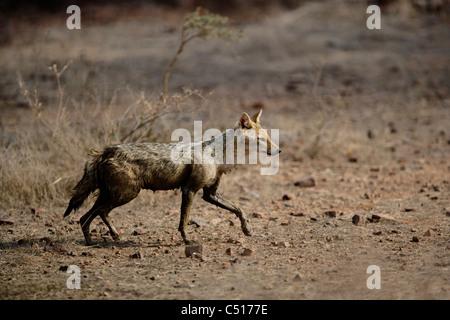 Le Chacal Canis aureus [déménagement] à la Réserve de tigres de Ranthambhore, Inde