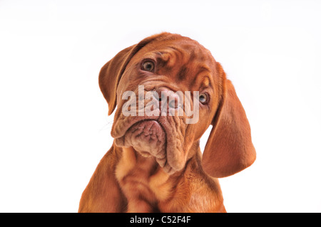 Portrait de Jolie Dogue de Bordeaux Puppy Banque D'Images