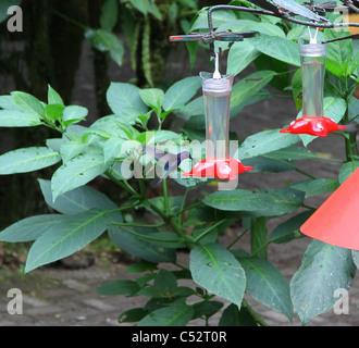 Campyloptère violet un mâle (Campylopterus hemileucurus, Hummingbird) sur un convoyeur de nectar de Monteverde Cloud Forest, Costa Rica