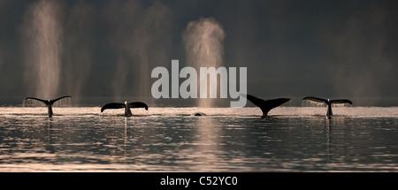 Un groupe de baleines à bosse plongent comme ils se nourrissent à Stephens Passage près de l'île de l'Amirauté, Banque D'Images