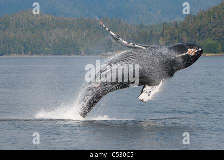 Humpback Whale breaching en Frederick Sound, le passage de l'intérieur, le sud-est de l'Alaska, l'été Banque D'Images