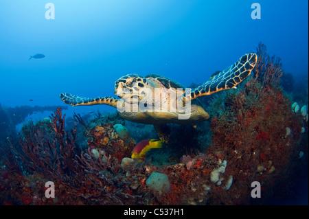 La tortue imbriquée (Eretmochelys imbricata) photographié à Palm Beach County, Floride. Banque D'Images