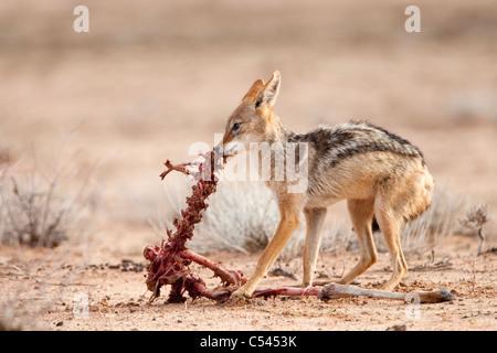 Blackbacked jackal, Canis mesomelas, carcasse, Kgalagadi Transfrontier Park, Afrique du Sud Banque D'Images