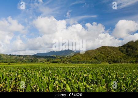 Les champs de taro dans la vallée d'Hanalei Kauai, Hawaii Banque D'Images