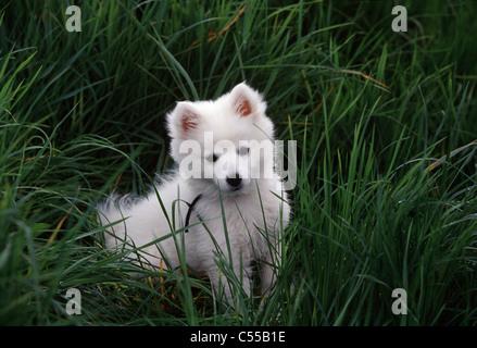American Eskimo puppy sitting on grass
