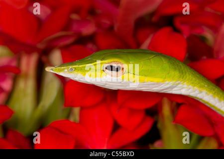 Close-up of a Green serpent de vigne (Ahaetulla nasuta)