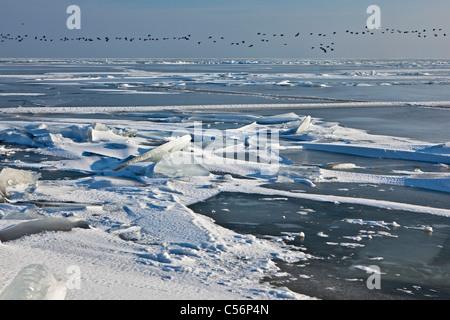 Les Pays-Bas, Oosterdijk, hiver, neige, vue sur lac gelé appelé IJsselmeer. L'alimentation des oiseaux. Banque D'Images