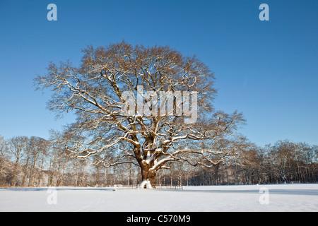 Les Pays-Bas, 's-Graveland, Oak Tree dans la neige. Banque D'Images