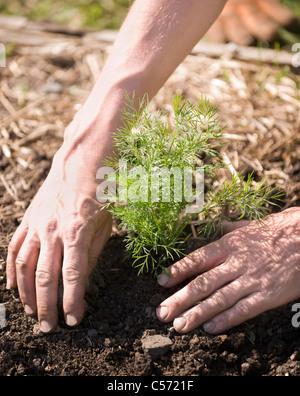 La plantation d'arbres mains dans le sol