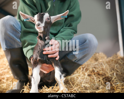 Worker holding kid goat on farm Banque D'Images