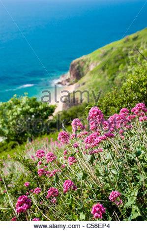 Fleurs sauvages (Valeriana officinalis) sur la colline au-dessus de Landcombe Cove, South Hams, Devon. Banque D'Images