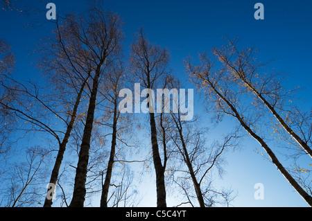Low angle view of arbres nus contre ciel bleu clair Banque D'Images