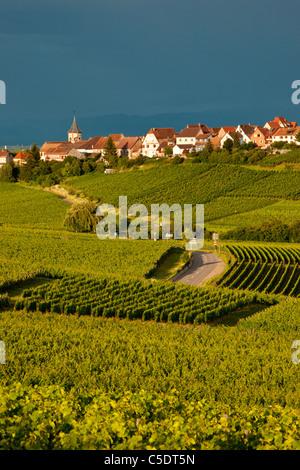 Vignes en dessous du village de Zellenberg, le long de la Route des Vins, Alsace Haut-Rhin France
