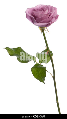 Rosa aqua rose in front of white background Banque D'Images