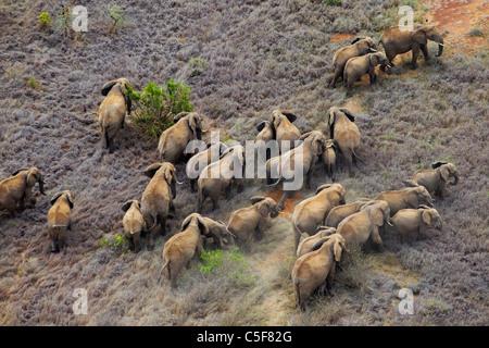 Vue aérienne de l'éléphant africain (Loxodonta africana) au Kenya. Banque D'Images