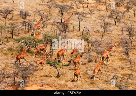 Vue aérienne de giraffe réticulée (Giraffa camelopardalis reticulata) au Kenya.