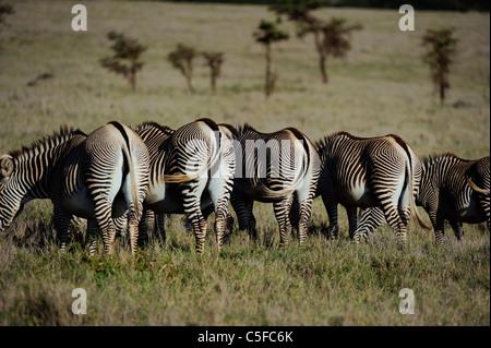 Le Zèbre de Grévy (Equus grevyi). Kenya Banque D'Images