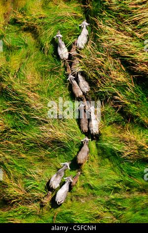 Vue aérienne de buffle (Syncerus caffer) au Kenya. Banque D'Images