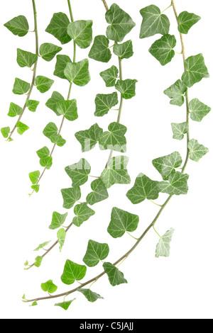 Ivy Banque D'Images