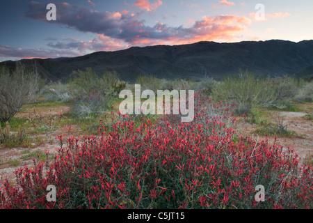 Bush ou Hummingbird Chuparosa fleurs sauvages dans Anza-Borrego Desert State Park, Californie. Banque D'Images