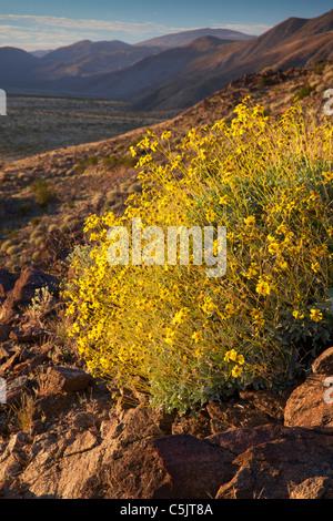 Fleurs sauvages, Brittlebush Anza-Borrego Desert State Park, Californie. Banque D'Images