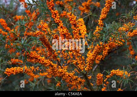 Argousier commun (Hippophae rhamnoides) twig avec baies mûres, Allemagne