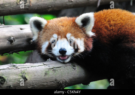 Gros plan de la tête et le visage d'un panda rouge (Ailurus fulgens). Base de recherche de Chengdu Panda géant de Banque D'Images