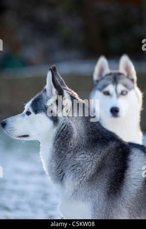 Deux huskies de Sibérie à la recherche dans différentes directions avec un oeil bleu avec un fond flou de neige Banque D'Images