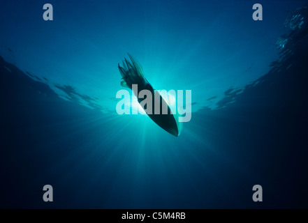 Bigfin Reef (Sepioteuthis lessoniana Squid) nage en plein océan, l'Egypte - Mer Rouge. Banque D'Images