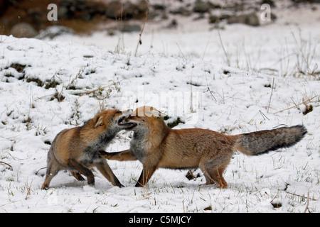 Le renard roux (Vulpes vulpes). Deux adultes combats en hiver. Allemagne Banque D'Images