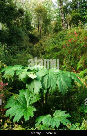 La rhubarbe chilienne (Gunnera tinctoria Mirb.) dans la forêt tropicale, Parc National Pumalin, Chili, Amérique du Sud