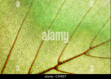 Texture de la feuille verte Banque D'Images