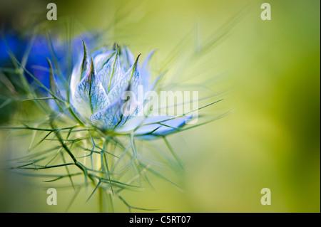 Un amour-dans-un-mist ouverture - Nigella damascena flower